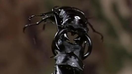 日本甲虫大战